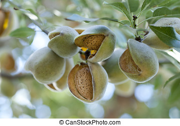 Almonds on tree - Almonds on the tree ready for harvesting