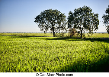 Rice fields california - Rice fields with trees, central...
