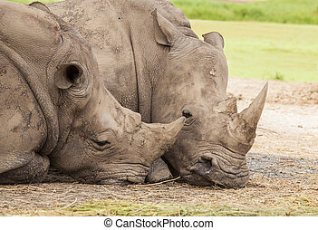 Family of rhino sleep on the ground