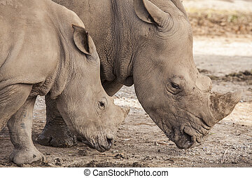 Family of rhino walk on the ground