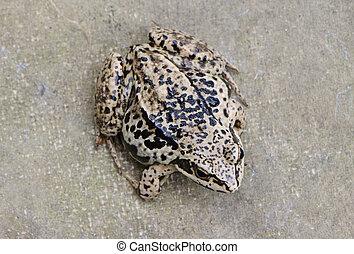 布朗,  Rana, 點, 青蛙, 人物面部影像逼真, 兩棲動物, 黑色