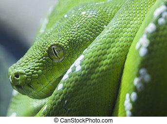 python, verde, cobra