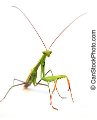 European mantis - European or praying mantis (Mantis...