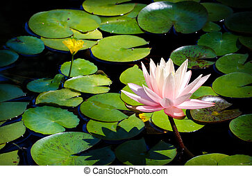 Pink Water Lily - A pink water lily flower rises out of a...