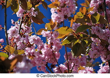 Blossoming cherry tree - A cherry blossom is the flower of...