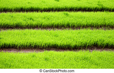 Green rice field closed up from Chiang Mai, Thailand