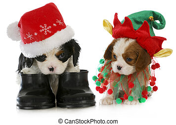 puppy santa and elf - cavalier king charles spaniel puppy...