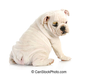 puppy looking over shoulder - english bulldog puppy looking...