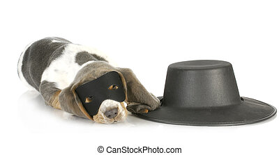 zorro dog - basset hound puppy dressed up like zorro on...