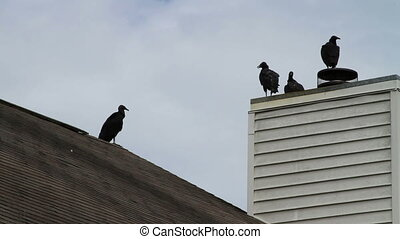 Vultures on roof shot two - Vultures perched on roof,...
