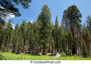 Sequoia trees - Sequoia National Park in USA