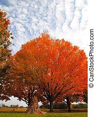 Autumn Pom Pom - A rounded tree displaying brilliant orange...