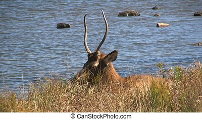 Spike Bull Elk Bedded - a spike bull elk bedded next to a...