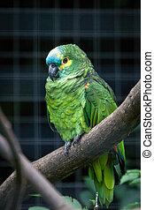 Orange-winged Amazon (amazon amazonica)