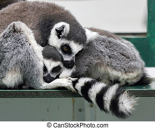 Ring-tailed lemur (Lemur catta) with baby