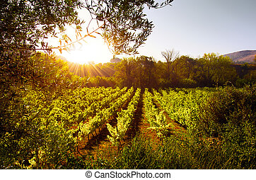 Vineyard at Sunset - Beautiful rural landscape with bright...