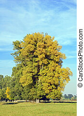 Autumn poplar tree in green meadow and blue sky