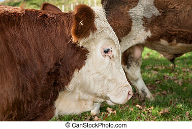 Cow, hereford - Cow close up