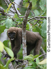 Woolly Monkey in Amazon - A Woolly Monkey in a tree along a...