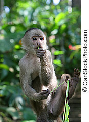 Capuchin Monkey - A playful capuchin monkey hangs out in...