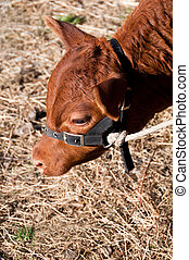 Calf with halter on  - Calf with halter eating hay
