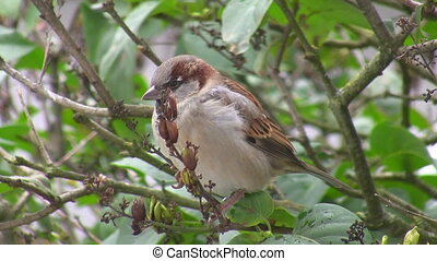 Sparrow pecking seeds