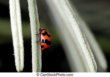 lady bug - Lady bug is climbing on the mimosa leaf