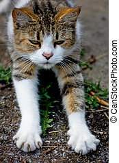 cat with claws out - white and brown cat with claws out