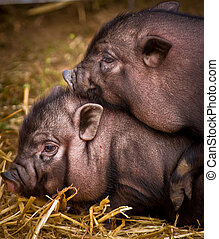 Vietnamese pigs - couple of vietnamese pigs playing