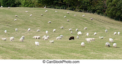 One black sheep - On black sheep in a field of white sheep...