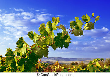 Grapevines, mountains and blue sky - Grape branch against...