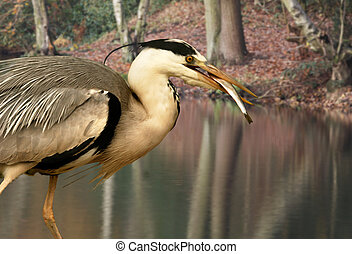 Grey Heron with Fish - A Grey Heron catches a fish in a pool...
