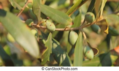 Olives dancing in the wind