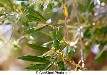 Detail of olive tree with green olives fruit