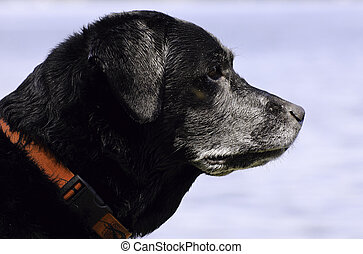 Portrait of a black lab dog