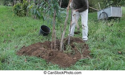 peach tree transplant - man planting a peach tree in the...