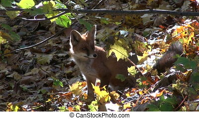 beautiful fox in autumn forest - beautiful mammal fox in...