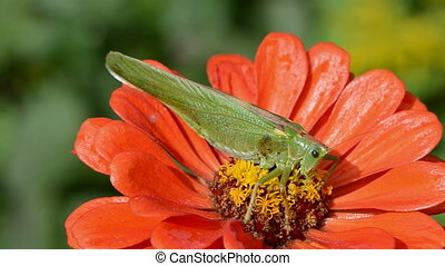 beautiful green grasshopper on orange zinnia flower and wind