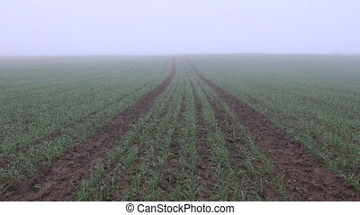 crop field and early morning fog - autumn crop field and...