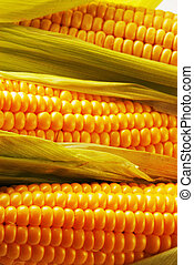 Corn - Freshly harvested corn, close up.