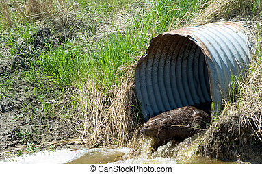 Brown Beaver - A brown beaver coming out of a metal culvert