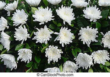 White Chrysanthemums - Arrangement of white chrysanthemums...