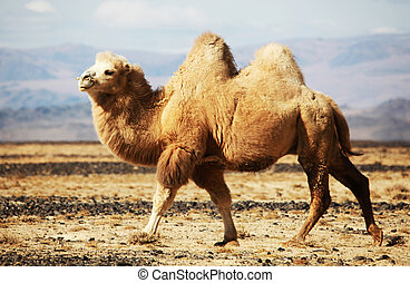 Bactrian camel in the steppes of Mongolia True to transport...