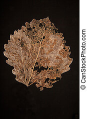 dry fallen autumn leaf with black background