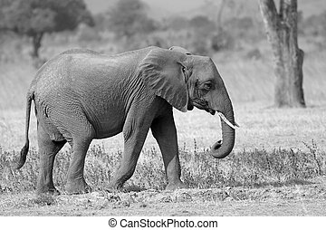 Wild Elephant in the Savannah in Mikumi, Tanzania