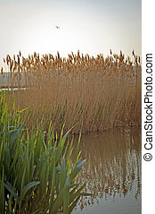 Sedge at Shore of the Lake in Hungary