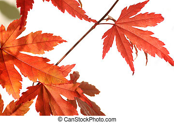 Beautiful red japanes maple against white background