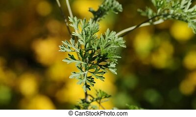 Absinth, Artemisia absinthum,herb for the famous Absinth...