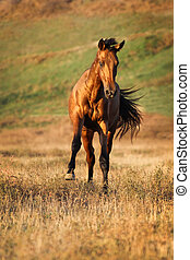 Horse runs gallop - Young bay horse runs gallop on the field