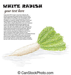 white radish - closeup illustration of fresh white radish...
